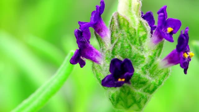 Lavender flowers time lapse