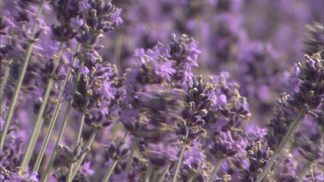 Lavender flowers wave in wind