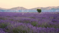 DS Lavender in Provence
