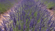 Lavender is moving in wind