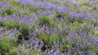 Lavender meadow in sunlight
