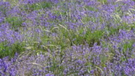 Lavender meadow in windy day