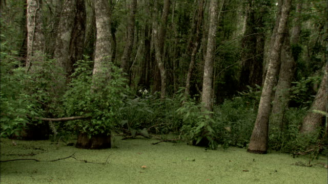 A layer of aquatic plants covers a swamp in Louisiana. Available in HD.