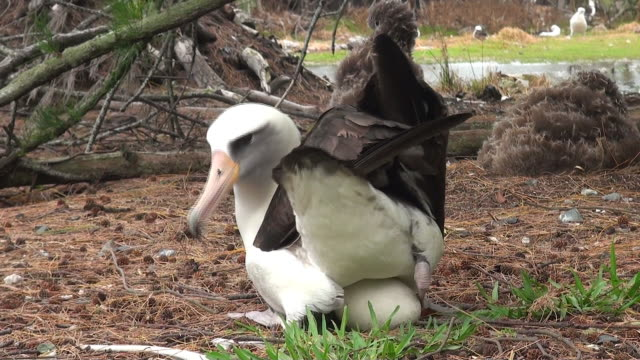 Laysan Albatross sitting on egg, Midway, Hawaii