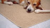 Lazy beagle dog sleep
