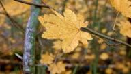Leaf Columbia River Gorge Oregon Fall Yellow Leaves Vine Maple 77