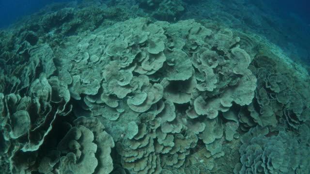 Leaf Coral grew everywhere under lava island