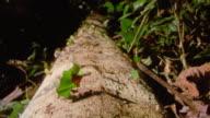 Leaf cutter ants carrying leaves along fallen tree trunk in rain forest / Manu, Peru