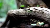 Leaf cutter ants on tree roots forest floor