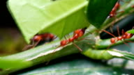 Leaf cutter ants transporting leaves, Costa Rica