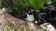 Leaf cutter ants (Atta sp.) walking along a branch above a rainforest stream in the Ecuadorian Amazon.