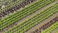 Leaf Lettuce Field In Summer Flyover
