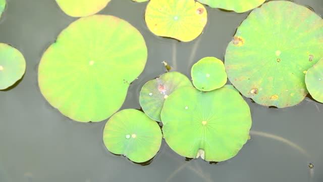 leaf lotus.