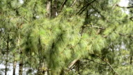 Leaf pine moving in the wind
