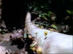 Leafcutter Ants, camea follows MWA ants carrying Dipteryx leaves along log;; Panama;