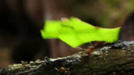 Leafcutter ants carrying leaves back to their nest. These ants use the leaves as a substrate for growing a fungus that they eat. Filmed in the Amazon rainforest, Ecuador
