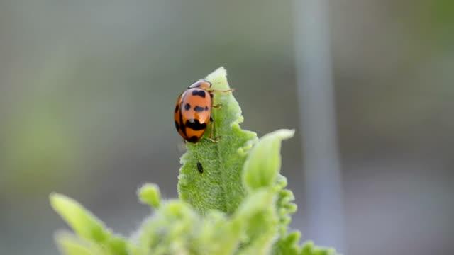 Leaf-feeding ladybird beetle