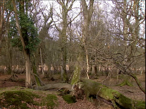 Leafless trees in woodland UK