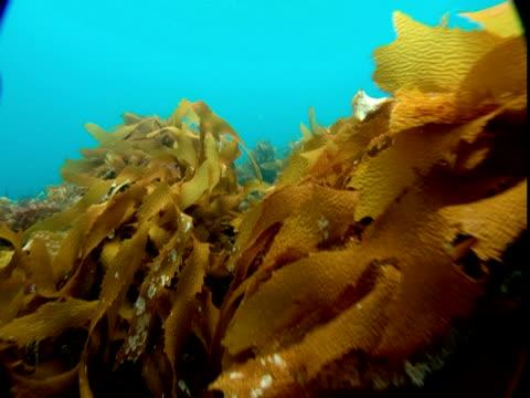 Leafy stalks of orange seaweed undulate in the ocean's current.