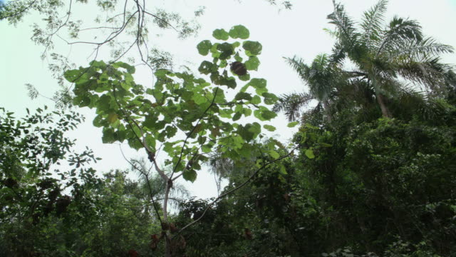 LA Leafy treetops in forest / Hawaii, United States