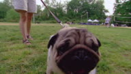 MS TS Leashed pug roaming in garden / Arlington, Virginia, United States