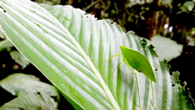 leave locust in ecuadorina jungle