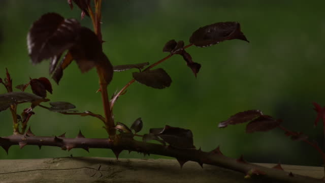 Leaves and shoots grow from a rose stem growing over pergola. Available in HD.