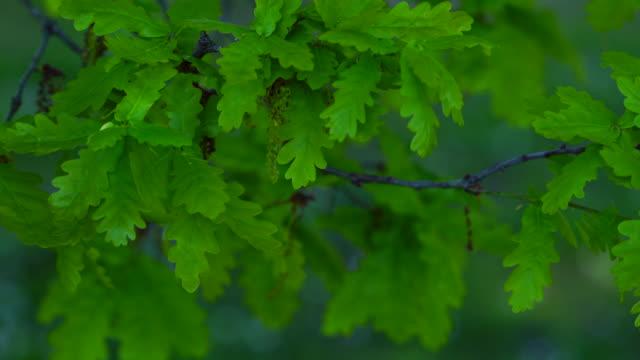 Leaves of a Quercus robur, commonly known as pedunculate oak or English oak, OAK - ROBLE ALBAR, Cantabrian Sea, Liendo, Cantabria, Spain, Europe