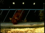 EXT BV Peter Gadd putting hay in feeding rick MSs CMSs Pedigree South Devonshire cattle feeding at trough in barn Peter Gadd interview SOT these...