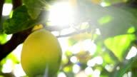 Lemon on the branch