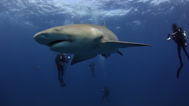 A lemon shark swims in for a closer look at a group of scuba divers