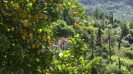 MS, Lemon tree on green hill, Spain, Balearic Islands, Mallorca, Deia