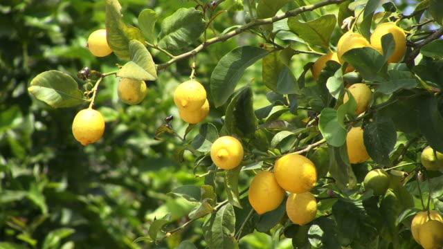 CU, Lemon tree (Citrus lemon), San Miguel, Ibiza, Balearic Islands, Spain