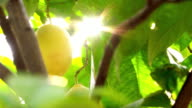 Lemons on the branch against sun