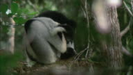 MS A lemur cleaning itself by licking / Madagascar