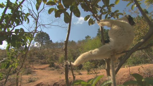Lemur lounging HQ 4:2:2