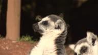 Lemurs Sleeping 1 - HD & PAL