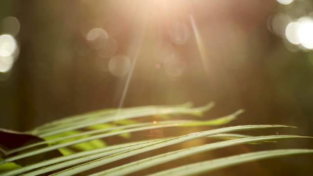 Lens flare over palm fronds, right pan