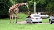 Leones jirafas e hipopotamos conviven en un pequeno zoologico abierto que replica el ambiente de una pequena sabana africana