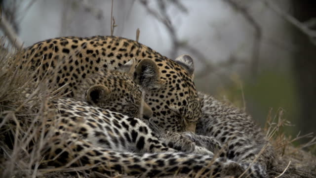 Leopard and cub sleeping on termite mound/ Kruger National Park/ South Africa