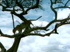 Leopard climbing down branches out of Acacia tree stopping amp flexing kneading front paws claws on tree trunk