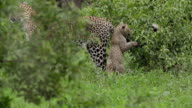 Leopard cub playing with mother, Kruger National Park, South Africa