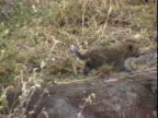 Leopard cub running through brush