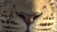 A leopard cub stares.