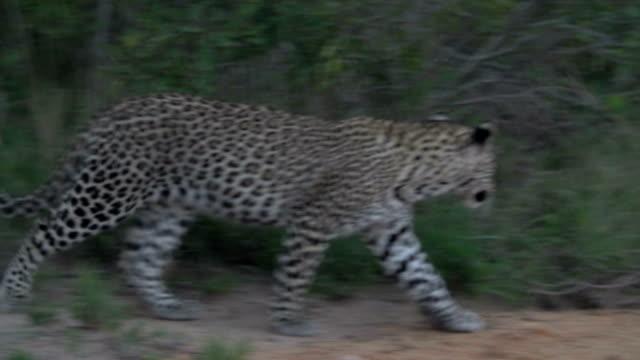 Leopard cub walking through long grass/ Kruger National Park/ South Africa