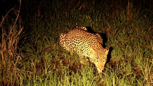 Leopard drinking at night/ Kruger National Park/ South Africa