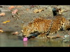 Leopard (Panthera pardus) drinking from pool, Nagarahole, Southern India