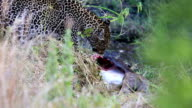 Leopard eating at secret place - camouflage