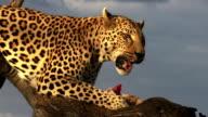 Leopard Eating