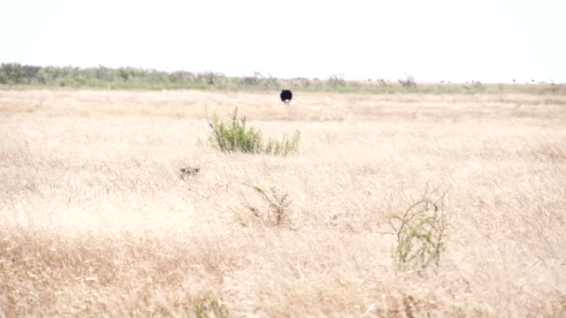 WS Leopard Going For The Prey